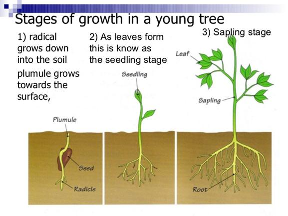 Image result for parts of trees, seedlings, saplings