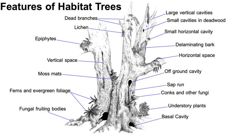 Often, trees or parts of trees that offer the most habitat are condemned as 'Defects'. Trees offer a diversity of habitat features that can only be found in and among 'Old Trees'. The illustration above shows some such features.  Illustration: Brian French